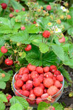 收获通配草莓的时间 免版税库存图片