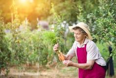 收获高级妇女的红萝卜 免版税库存图片