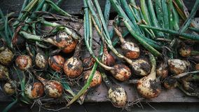 收获,乡村生活、葱和红萝卜,菜 图库摄影