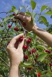 收获从一棵树的樱桃在庭院里 免版税库存图片