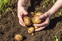 收获从土壤的手新鲜的土豆 库存图片