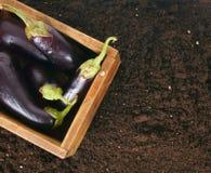 收获 在一个老箱子的茄子地球上 免版税库存照片