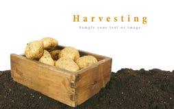 收获 在老箱子的一个新鲜的土豆地球上 库存照片