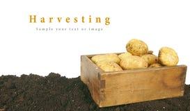 收获 在老箱子的一个新鲜的土豆地球上 免版税库存照片