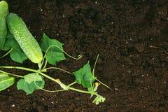 收获 地球上的新鲜的黄瓜 免版税库存照片