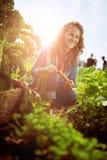收获从屋顶温室庭院的友好的妇女新鲜蔬菜 库存图片