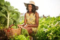 收获从屋顶温室庭院的友好的非裔美国人的妇女新鲜蔬菜 免版税图库摄影