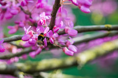 收获从桃红色Judas树紫荆siliquastrum开花的土蜂熊蜂pascuorum的特写镜头花粉在一个春日 免版税库存图片