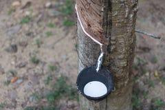 收获从橡胶厂的乳汁 免版税库存照片