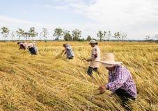 收获从米领域的农夫 免版税库存照片