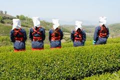 收获绿色茶叶的妇女 免版税库存照片