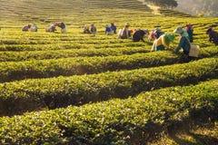 收获绿色茶叶的工作者在茶园 免版税库存图片