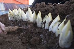收获莴荬菜在土壤增长的/Chicory 库存照片