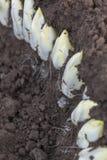 收获莴荬菜在土壤增长的/Chicory 库存图片