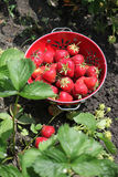 收获6月草莓 免版税库存照片