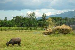 收获mindanao ricefield风景时间 免版税库存照片
