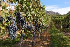 收获okanagan准备好的葡萄园 免版税图库摄影