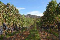 收获okanagan准备好的葡萄园 库存照片