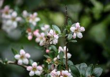 收集与一只小蜂的花蜜 免版税库存图片