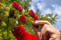 收集为药物的杉木红色锥体 免版税库存图片
