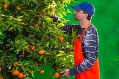 收集人的蜜桔橙色农夫 免版税库存照片
