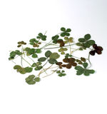 收集四叶子的三叶草 免版税库存照片