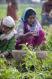 收集土豆在Thakurgong,孟加拉国显示一名工作者 免版税库存照片