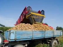 收集土豆 免版税库存图片