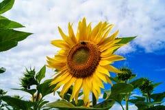 收集在一个开花的向日葵的土蜂花粉 库存图片