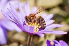 收集在一朵希腊野花的蜂花粉 库存照片