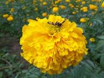 收集在一朵开花的充满活力的黄色万寿菊花的美丽的蜂花蜜 免版税库存图片