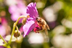 收集在一朵桃红色花的蜂花粉 免版税库存照片