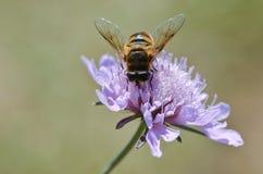 收集在一朵紫色花的蜂花粉 免版税库存照片