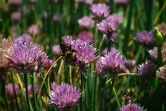 收集在一朵红三叶草花的土蜂花蜜 免版税图库摄影