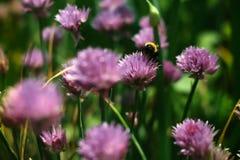 收集在一朵红三叶草花的土蜂花蜜 库存图片
