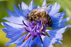 收集在一朵蓝色花的蜂花蜜 免版税库存照片