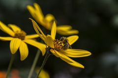 收集在一朵黄色花的蜂蜜蜂花粉 关闭 复制s 免版税图库摄影