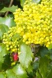 收集在一朵黄色花的蜂花蜜 库存图片