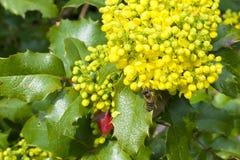 收集在一朵黄色花的蜂花蜜 免版税库存照片