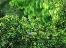 收集在一棵树的野生厚实开帐单的绿色鸽子果子在晚上阳光下 免版税库存图片