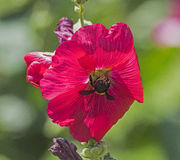 收集在一棵紫色木槿的蜂蜜蜂花粉开花 免版税库存照片