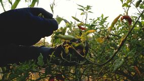 收集在分支的农夫辣椒药丸与阳光在早晨 股票视频