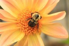 收集在大丽花花的土蜂的特写镜头花粉 免版税库存图片