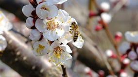 收集在开花的树的蜂蜂蜜在春天 植物的授粉有蜂的 慢动作录影 股票视频