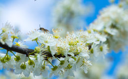 收集在开花的树的蜂蜂蜜在春天 库存图片