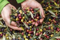 收集在收获的手细节季节的橄榄做额外处女橄榄油,Priorat,塔拉贡纳,西班牙 CR2 库存照片