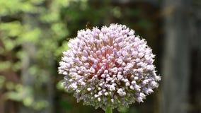 收集在春天开花的蓬松野生蜂花蜜 影视素材