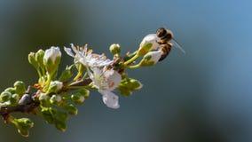 收集在白色李子花的蜂特写镜头花粉 春天背景春天 免版税库存照片