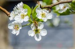 收集在白色洋梨树的蜂蜜蜂花蜜开花春天 免版税图库摄影