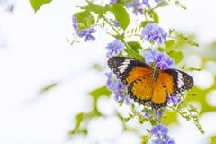 收集在紫色花的共同的老虎蝴蝶花蜜 库存图片